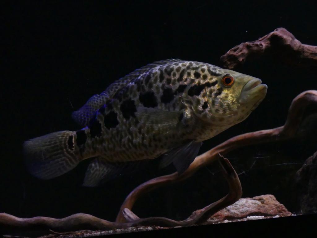 Parachromis managuensis  (Günther, 1867)  Ciclido Jaguar 10103813