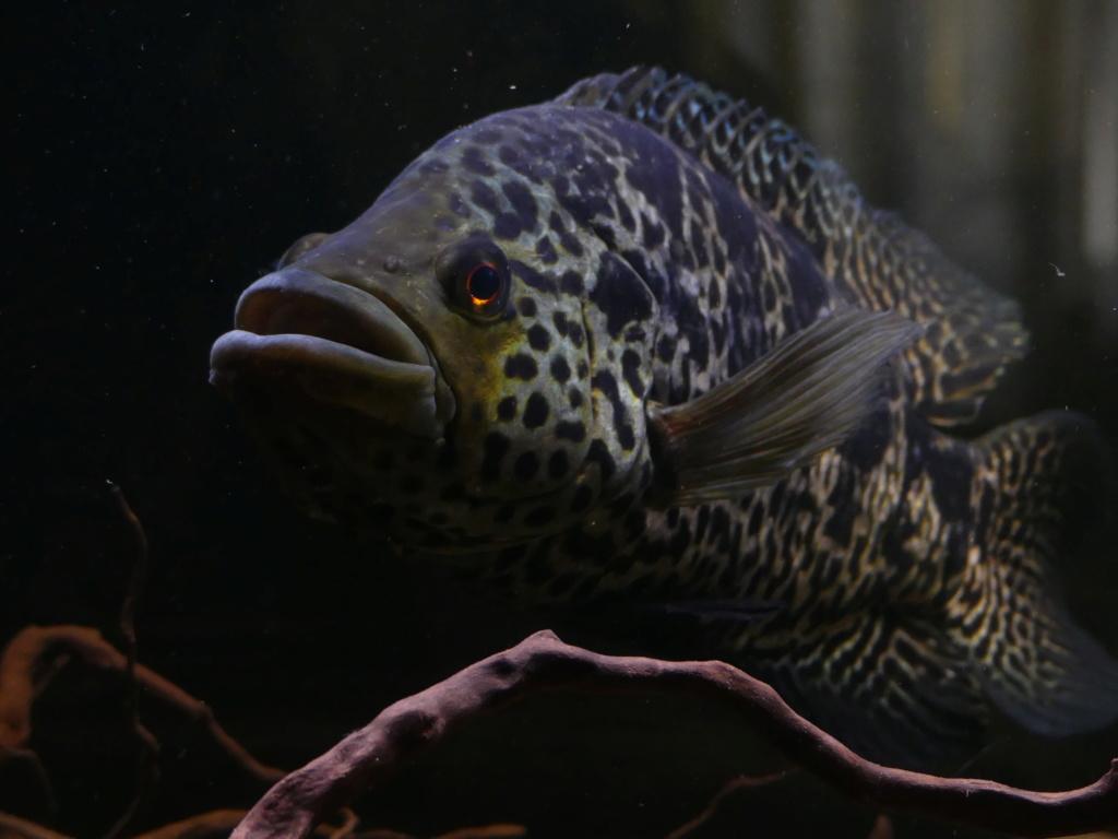 Parachromis managuensis  (Günther, 1867)  Ciclido Jaguar 10104210