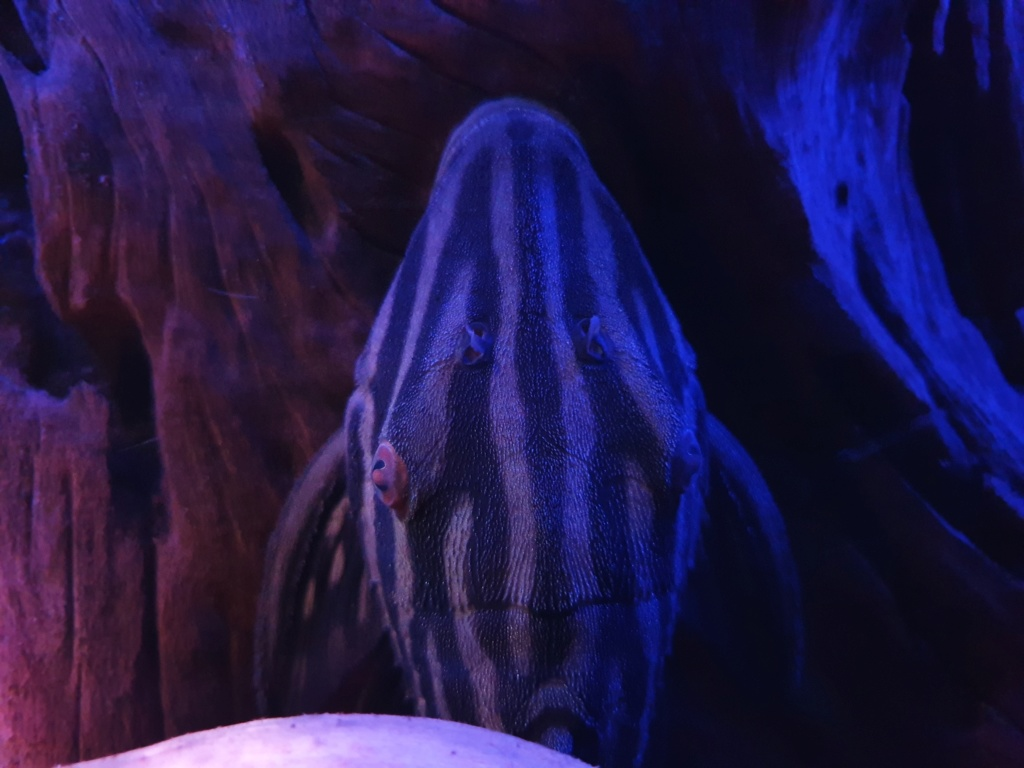 Panaque cf. armbrusteri xingu (L27) - Página 2 20190113