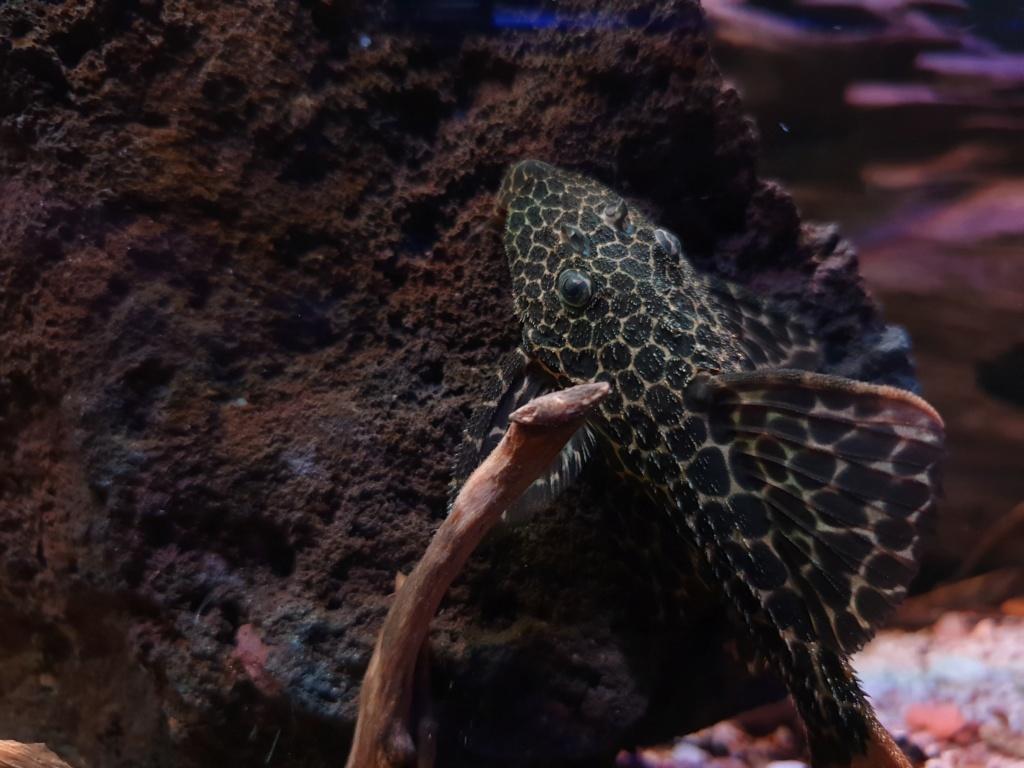 Pseudacanthicus leopardus (Fowler, 1914) - L114  - Página 4 20190120