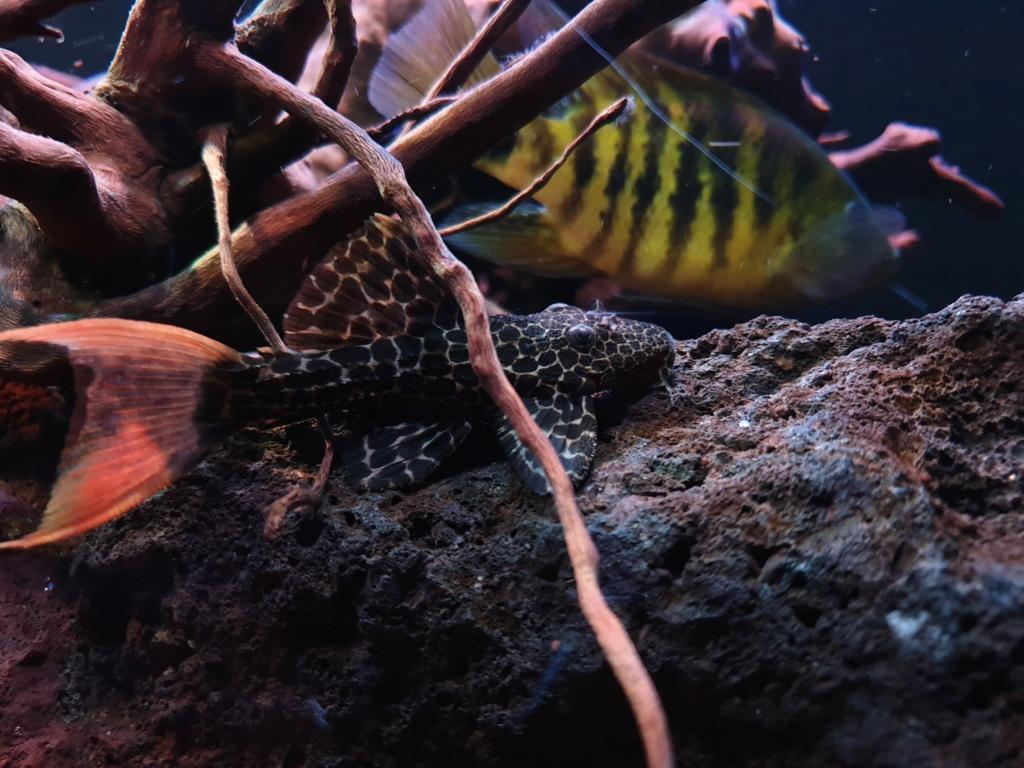 Pseudacanthicus leopardus (Fowler, 1914) - L114  - Página 4 20190122