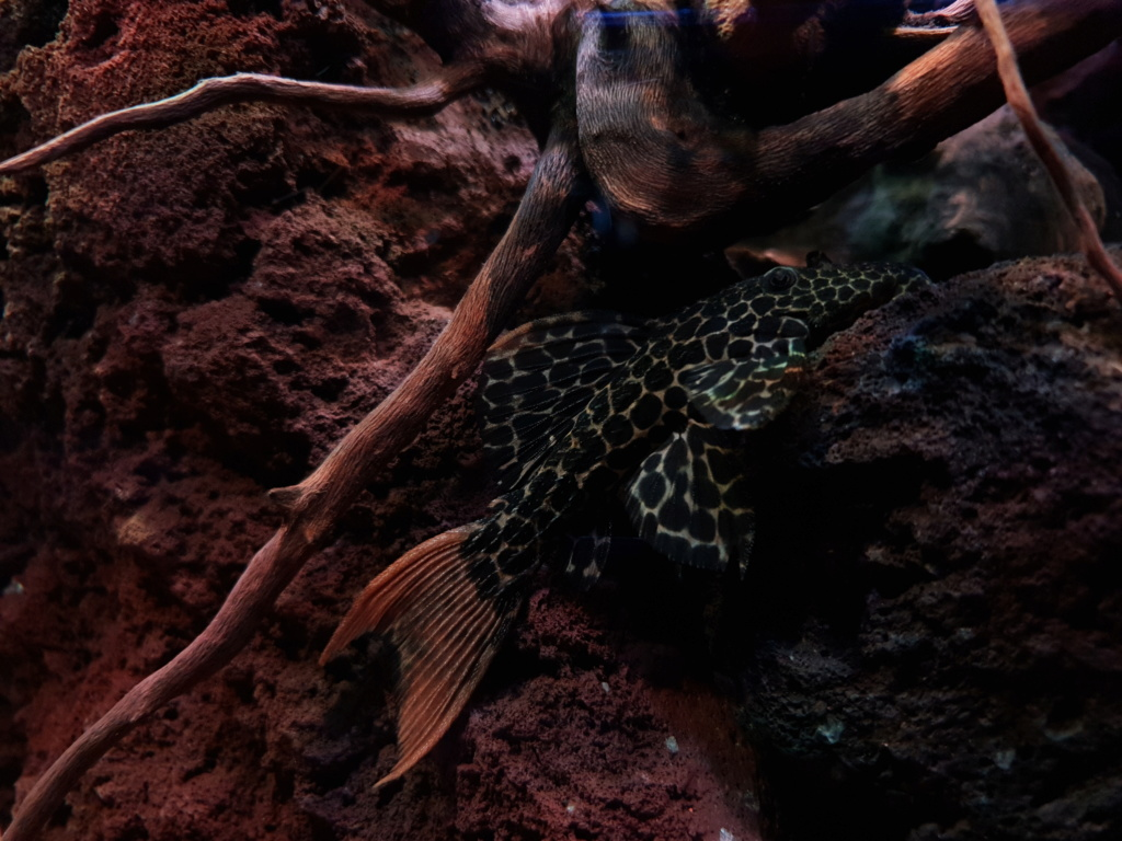 Pseudacanthicus leopardus (Fowler, 1914) - L114  - Página 4 20190126