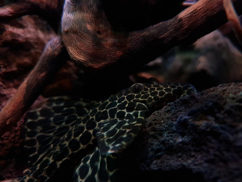 Pseudacanthicus leopardus (Fowler, 1914) - L114  - Página 4 20190127