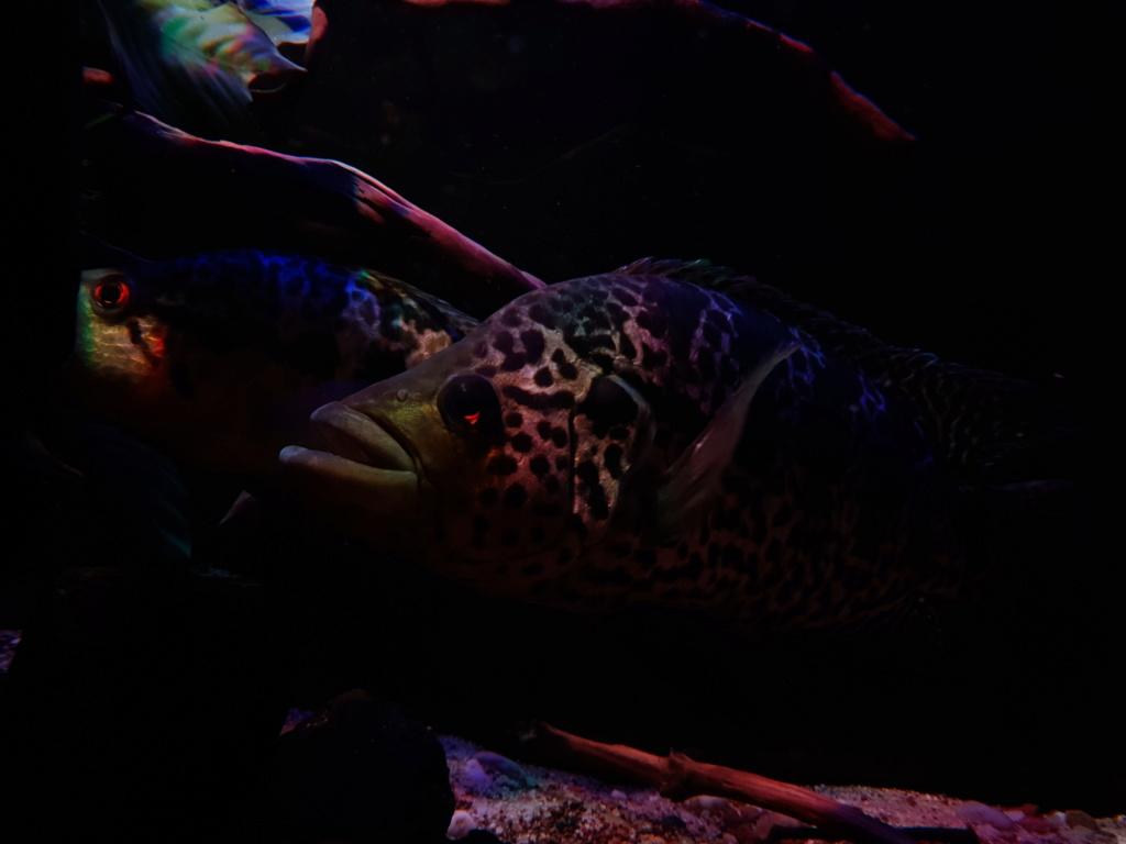 Parachromis managuensis  (Günther, 1867)  Ciclido Jaguar 20190369