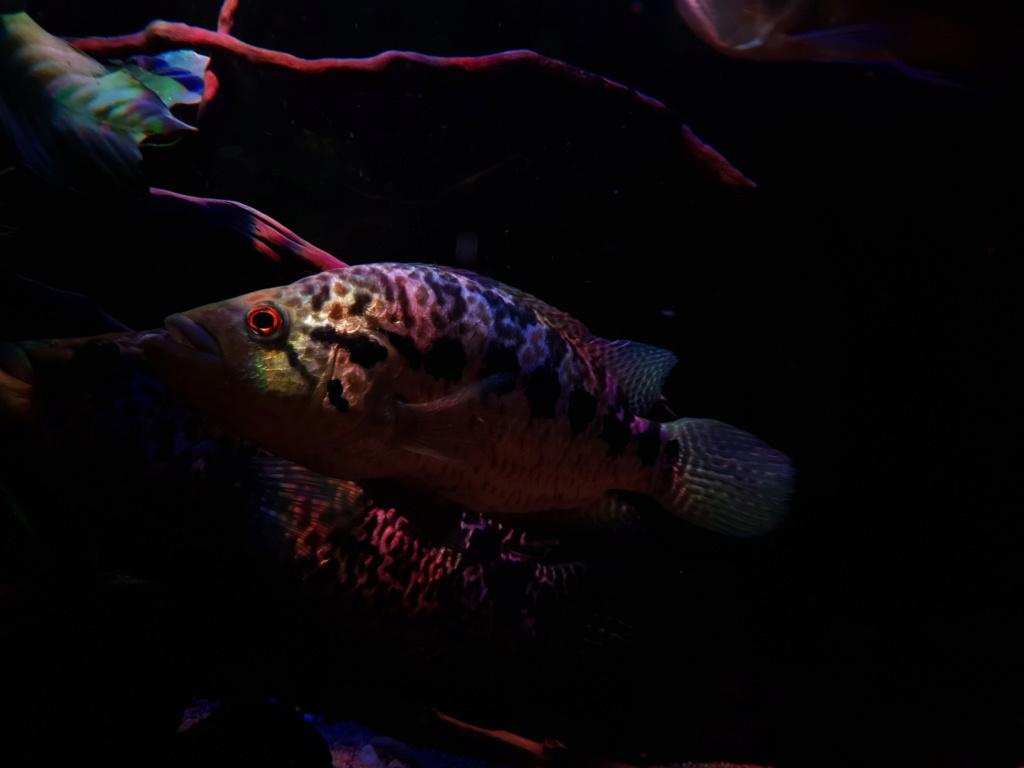 Parachromis managuensis  (Günther, 1867)  Ciclido Jaguar 20190371