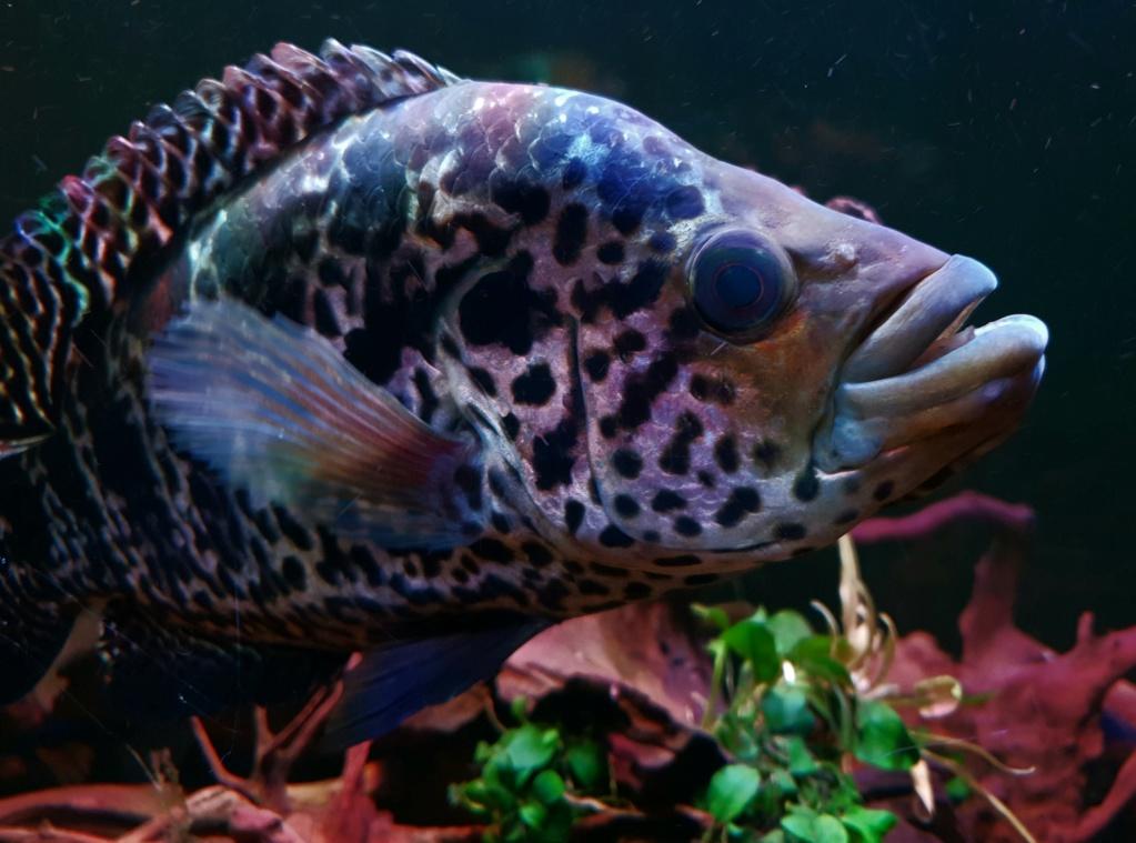 Parachromis managuensis  (Günther, 1867)  Ciclido Jaguar 20190373