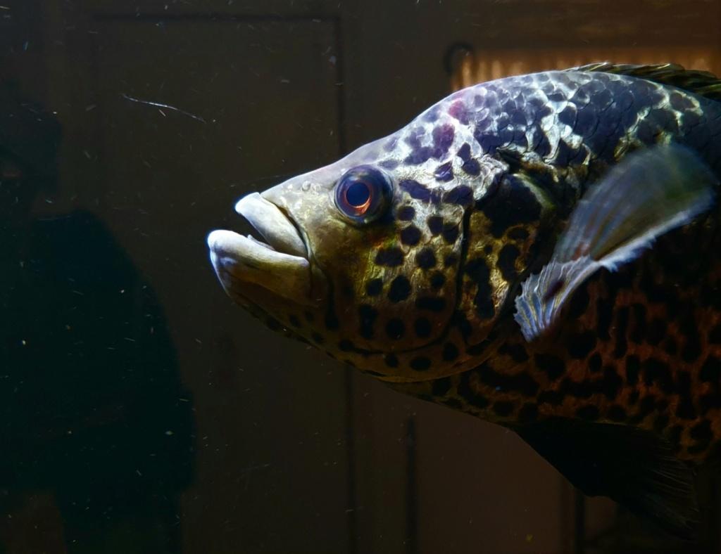 Parachromis managuensis  (Günther, 1867)  Ciclido Jaguar 20190374
