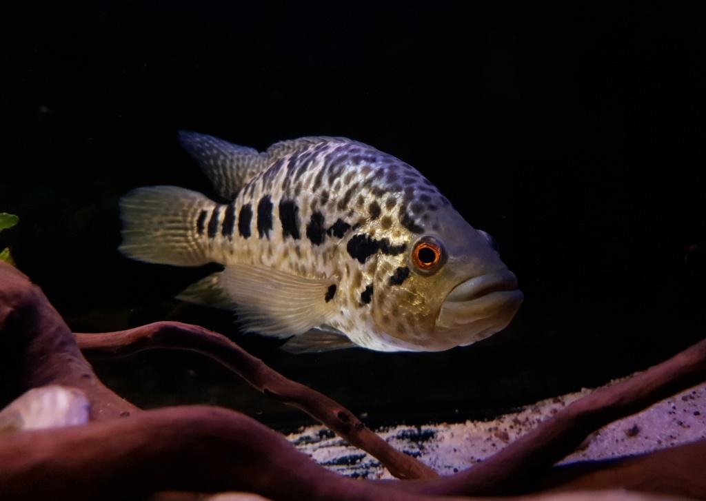 Parachromis managuensis  (Günther, 1867)  Ciclido Jaguar 20190376