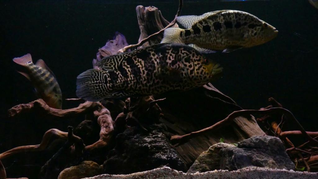 Parachromis managuensis  (Günther, 1867)  Ciclido Jaguar 20190380