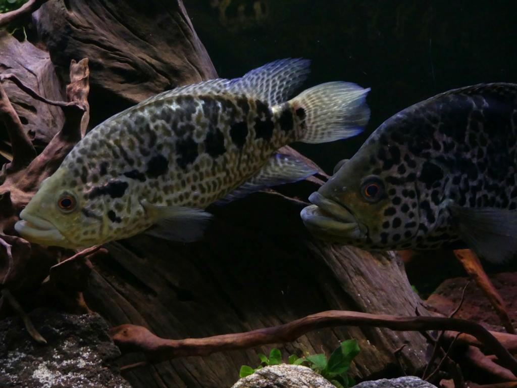 Parachromis managuensis  (Günther, 1867)  Ciclido Jaguar 20190381
