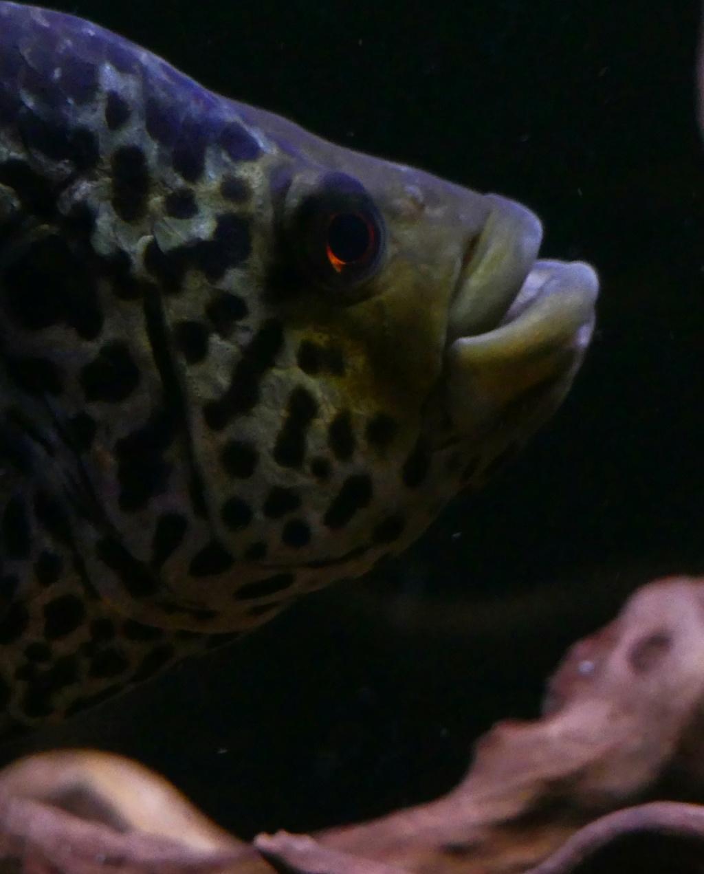 Parachromis managuensis  (Günther, 1867)  Ciclido Jaguar 20190382