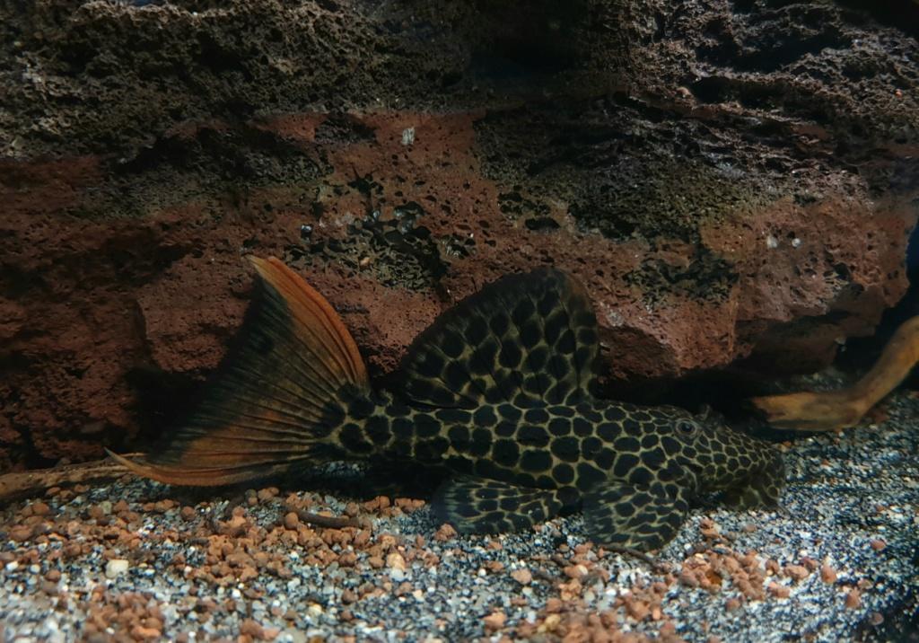 Pseudacanthicus leopardus (Fowler, 1914) - L114  - Página 4 20190385