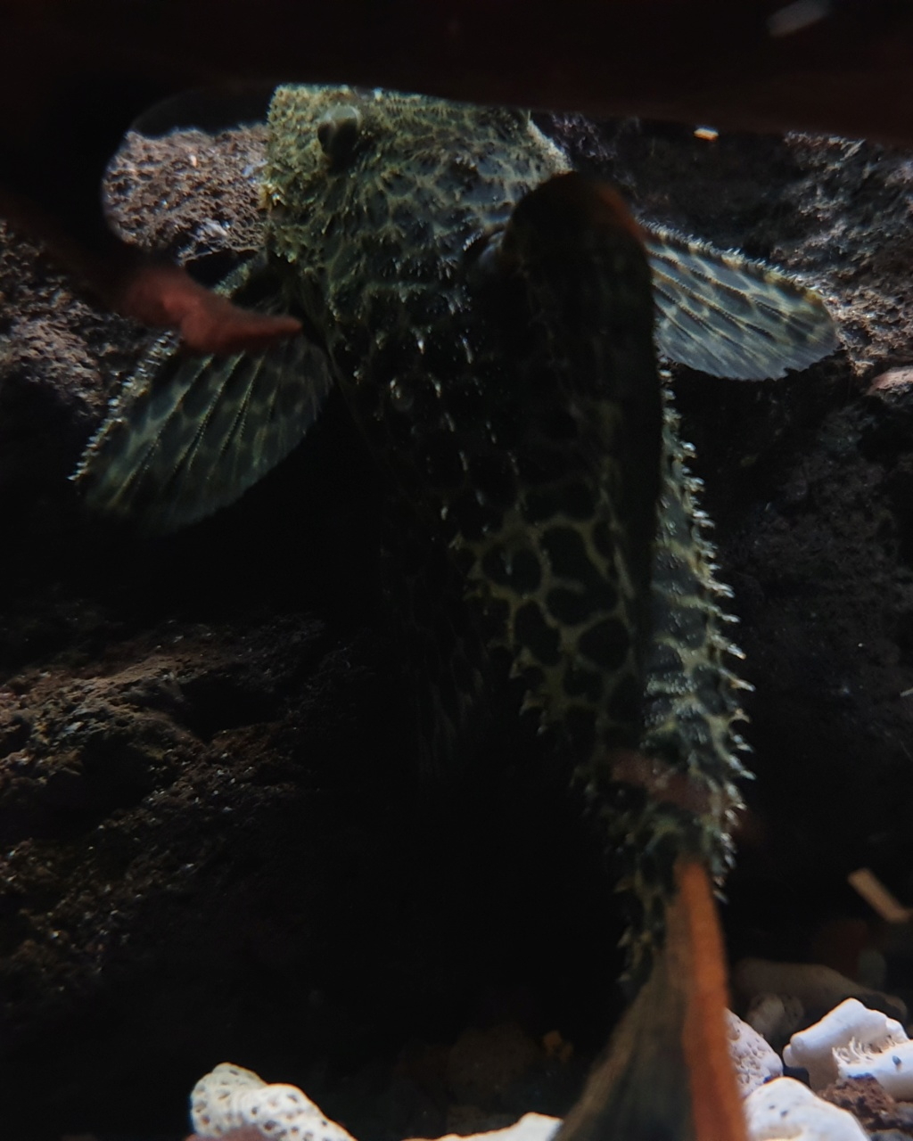 Pseudacanthicus leopardus (Fowler, 1914) - L114  - Página 4 20190719