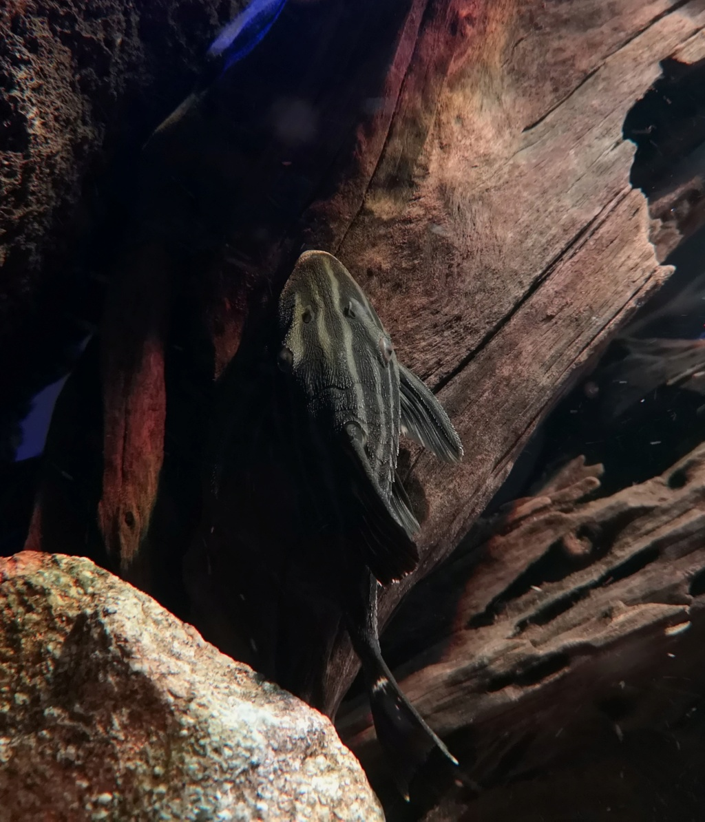 Panaque cf. armbrusteri xingu (L27) - Página 2 Img_2119
