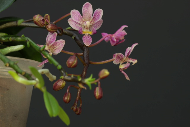Phalaenopsis equestris x finleyi (Donna's Delight ) - Seite 3 Img_1311