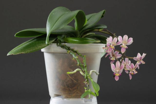 Phalaenopsis equestris x finleyi (Donna's Delight ) - Seite 3 Img_1712