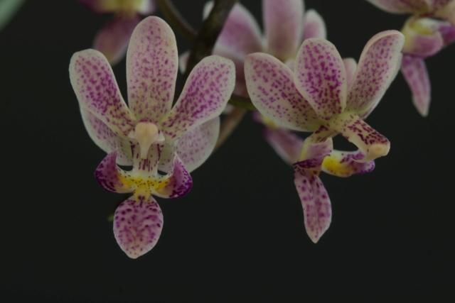 Phalaenopsis equestris x finleyi (Donna's Delight ) - Seite 3 Img_1713