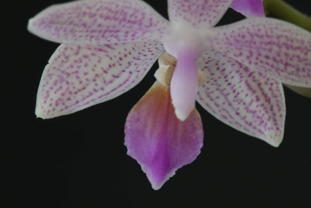 Phalaenopsis lindenii x equestris (Venus) Img_2310