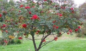 Tree Symbolism Rowant10