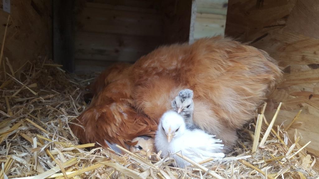 Adoption poussin à une poule qui couve 20190411