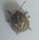 [Graphosoma italicum] qui est-ce ? Bzobzo10