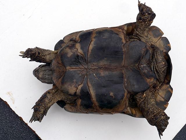 identification nouvelle tortue Plastr12