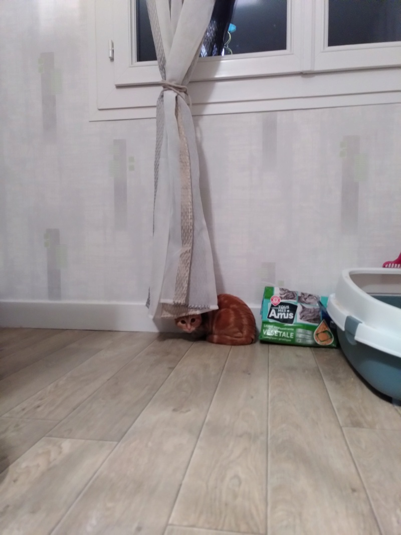BURBERRY (chaton femelle  rousse europeenne) Img_2017