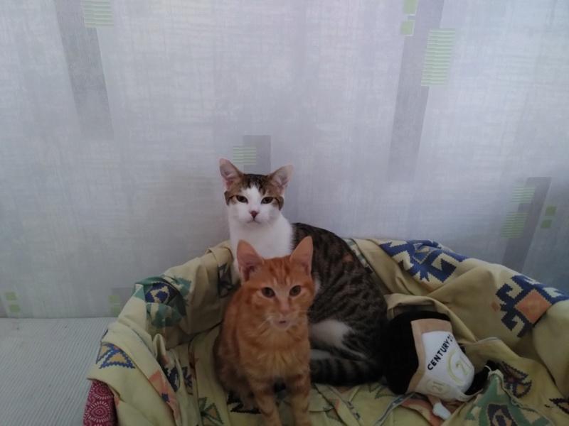 BURBERRY (chaton femelle  rousse europeenne) Img_2021