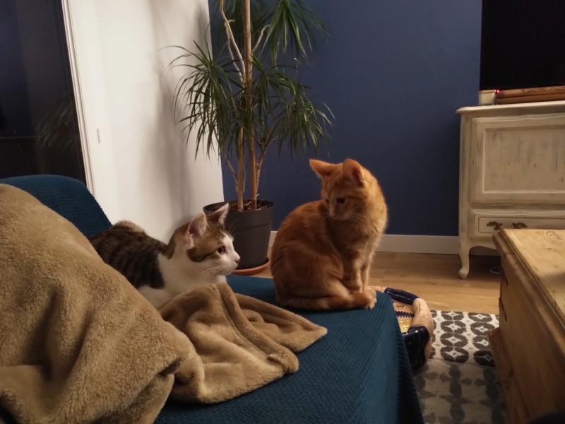 BURBERRY (chaton femelle  rousse europeenne) Img_2022
