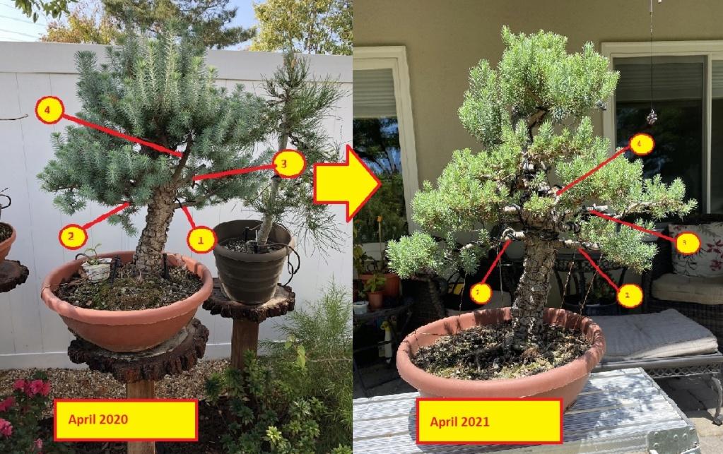 Pinus Halepensis o Pinea ? April_13