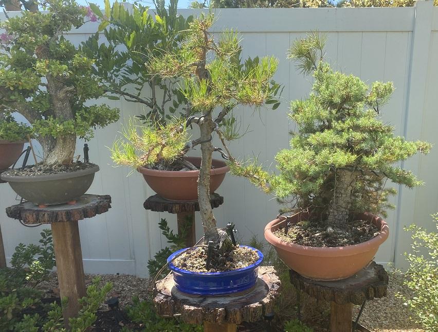 Pinus Halepensis o Pinea ? Aug_2012