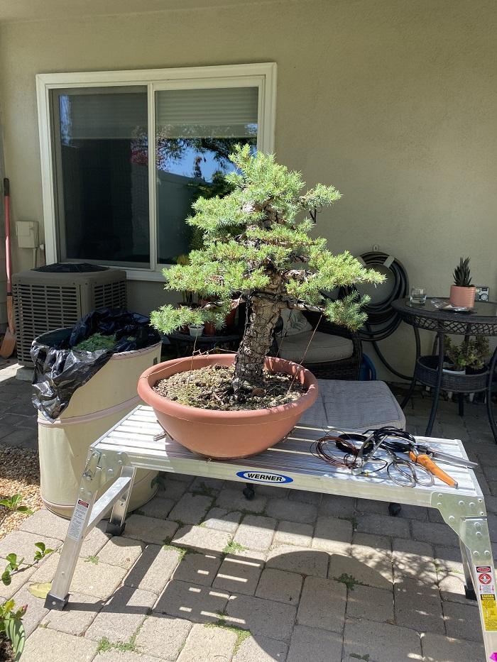 Pinus Halepensis o Pinea ? May_2010