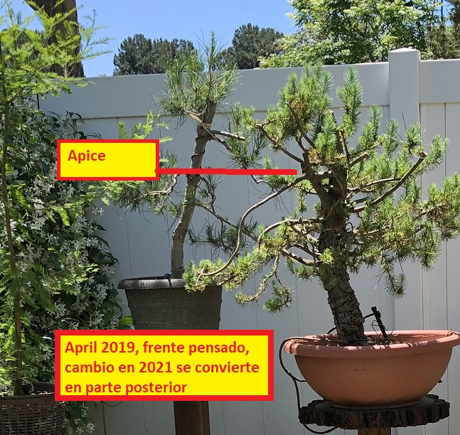 Pinus Halepensis o Pinea ? May_2011