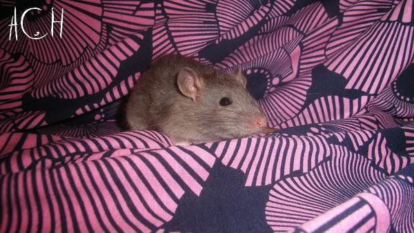 [France] 18 rats à adopter d'urgence Sl551432