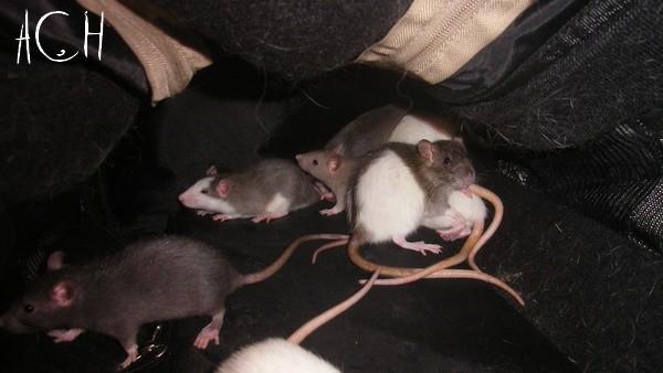 [France] 18 rats à adopter d'urgence Sl551521