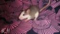 [France] 18 rats à adopter d'urgence Sl551534