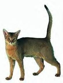 Sondage:votre race de chat préférée Abyssi10