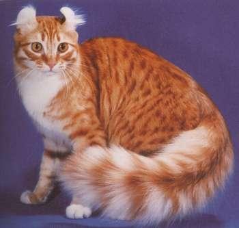 Sondage:votre race de chat préférée Americ10