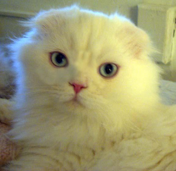 Sondage:votre race de chat préférée Cindil10