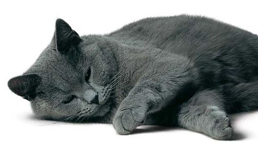Sondage:votre race de chat préférée Img-ch10