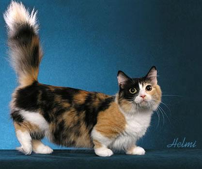 Sondage:votre race de chat préférée Munchk10