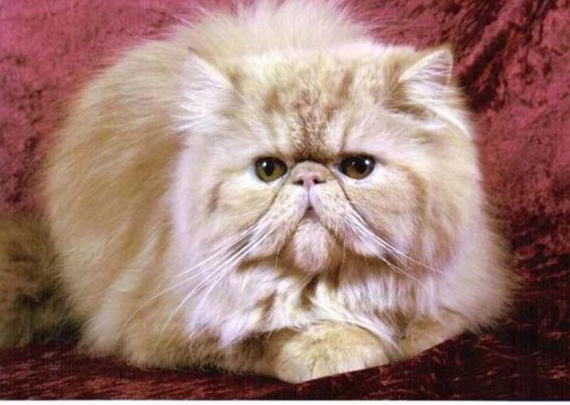 Sondage:votre race de chat préférée Persan10