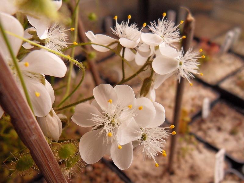 Images de tubereux Fleurs10