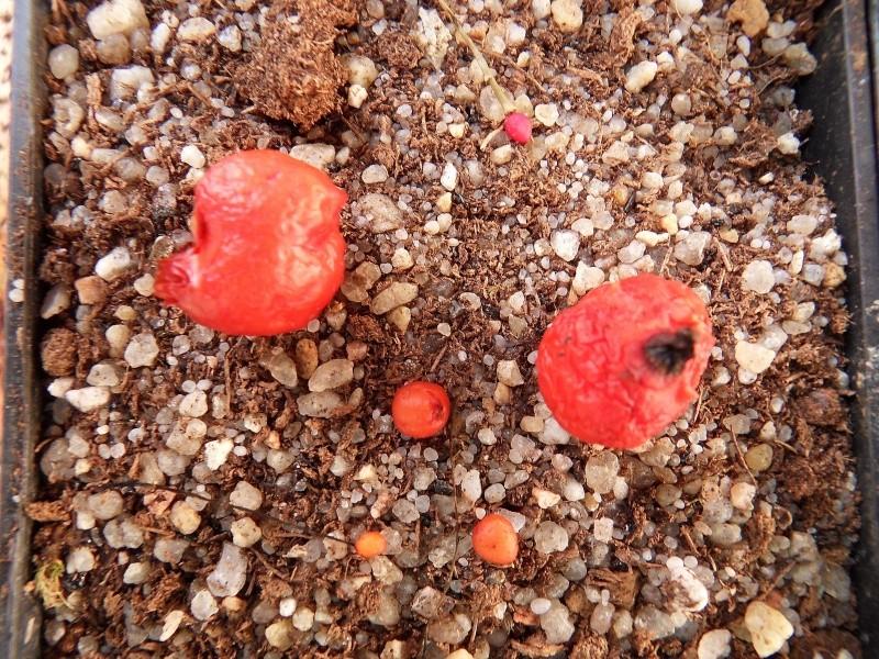 Aujourd'hui récolte des patates Sdc18214