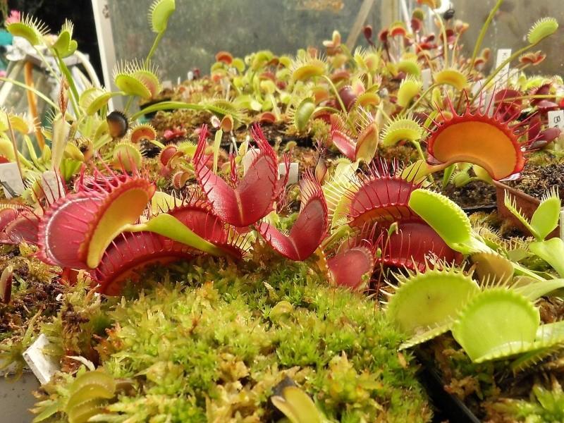 Dionaea 'Paradisia' Sdc18419