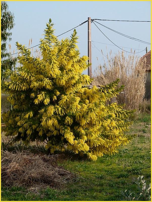 mimosa P1000012