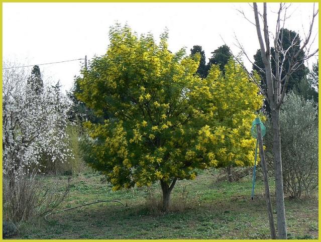 mimosa P1080315