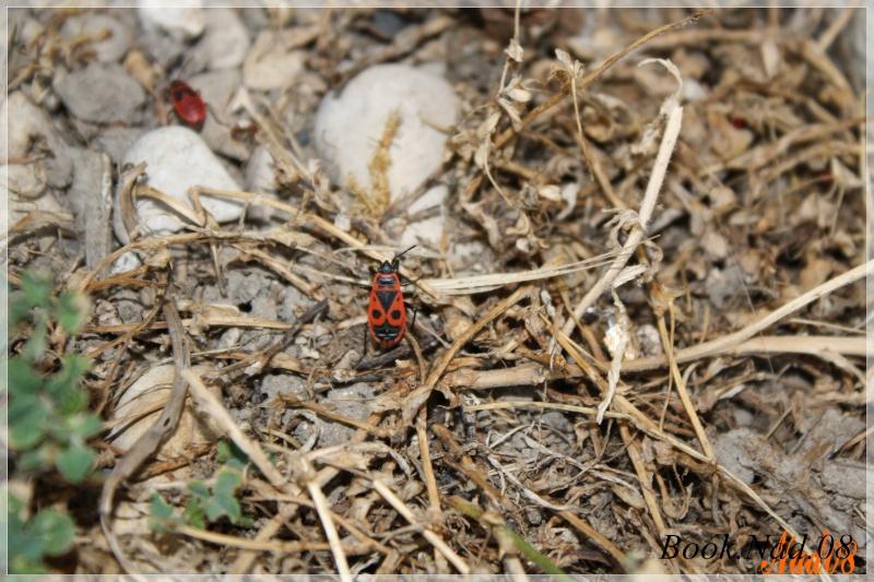 LE GENDARME OU SUISSE ! (Pyrrhocoris apterus, Hétéroptère ) Photoc23