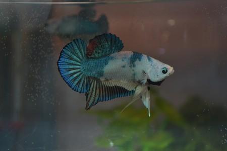 [ PHOTOS ] Les nids de bulles de nos poissons - Page 3 Dsc_0013