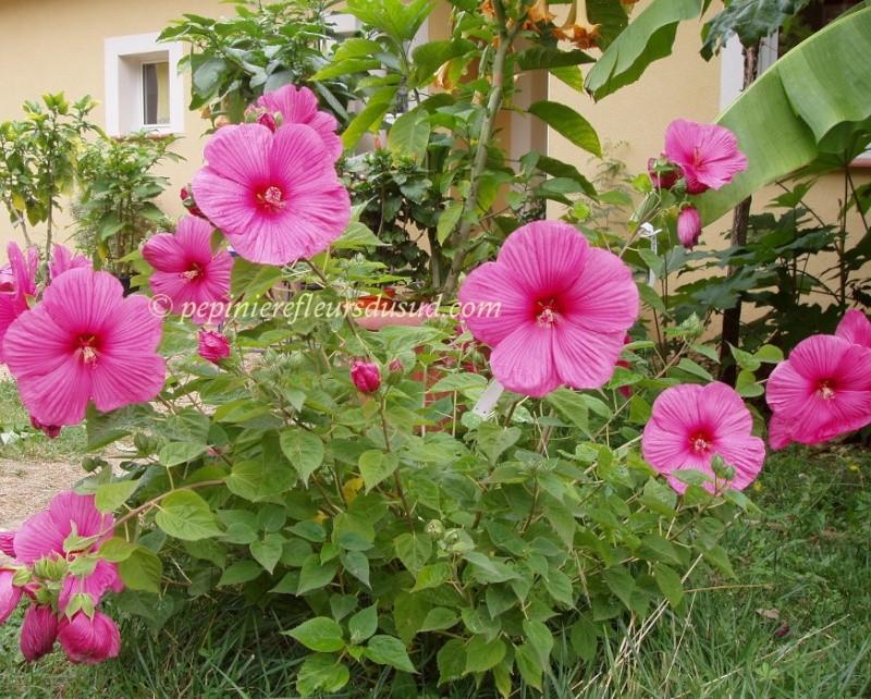 hibiscus moscheutos ou des marais Hibisc10